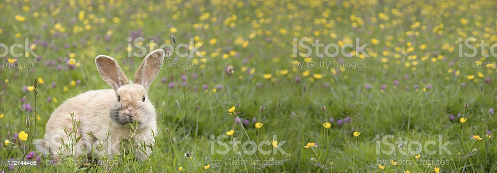 buttercups and bunny's! stock photo