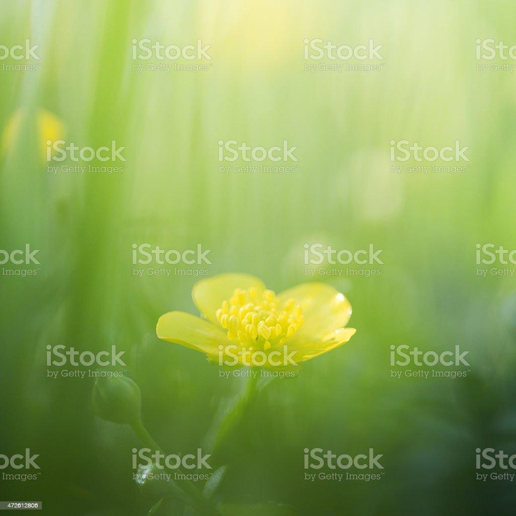 Buttercups in meadow stock photo