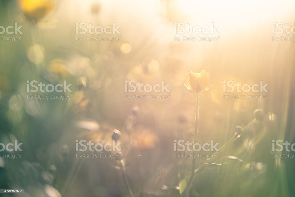 Buttercups in meadow stock photo