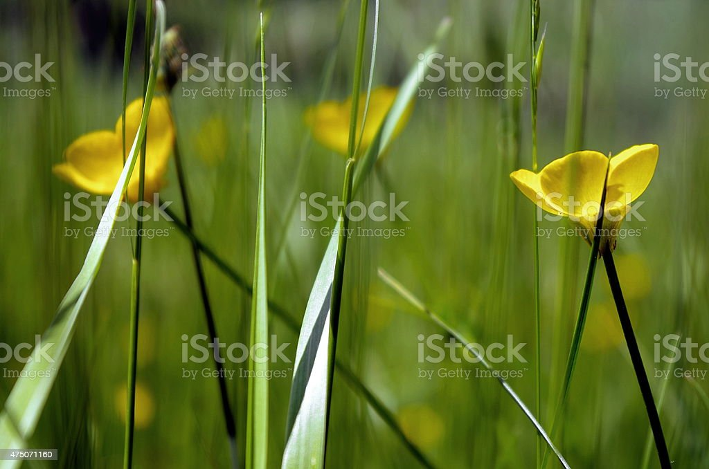 Buttercups in the sun stock photo