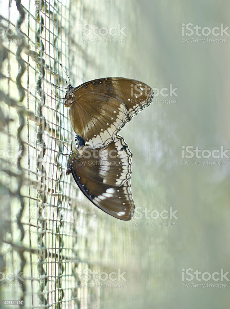 Butterflies (Great Egg-fly(Hypolimnas bolina linnaeus)). are mating... stock photo