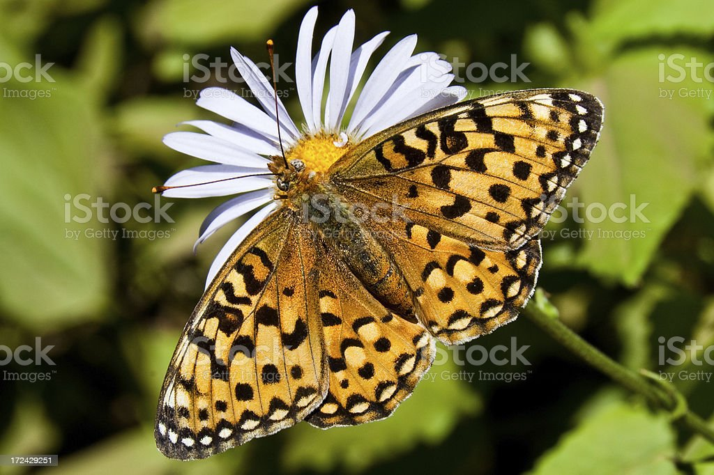 Pearl Border Fritillary Butterfly on an Aster Bloom royalty-free stock photo