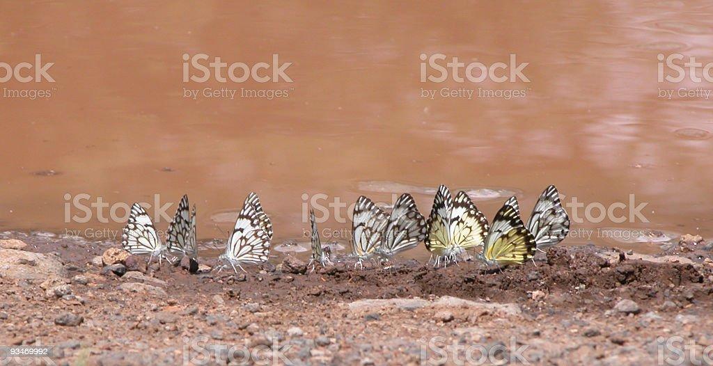 Butterflies, Belenois aurota, Lake Bogoria NP, Kenya stock photo