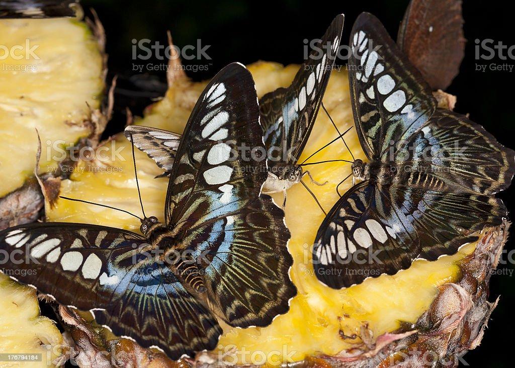 butterflies feeding stock photo