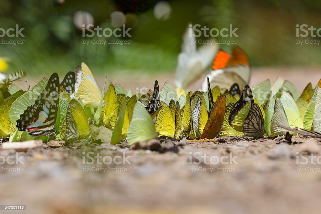 butterflies flock sucking food on wet floor. stock photo