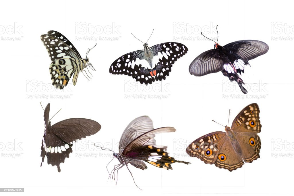 Butterflies in different families ,isolated on white background stock photo