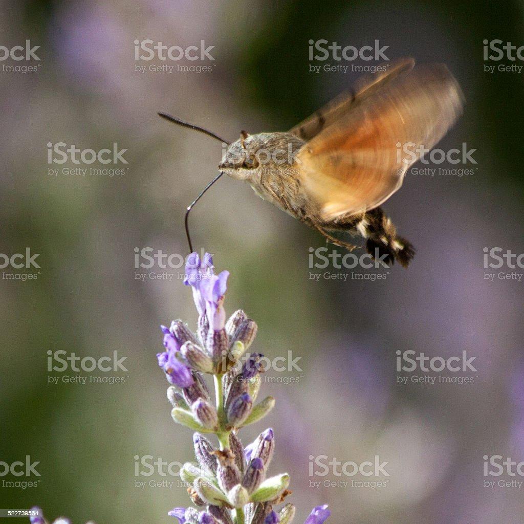 Butterflies in Europe: hummingbird hawk-moth stock photo
