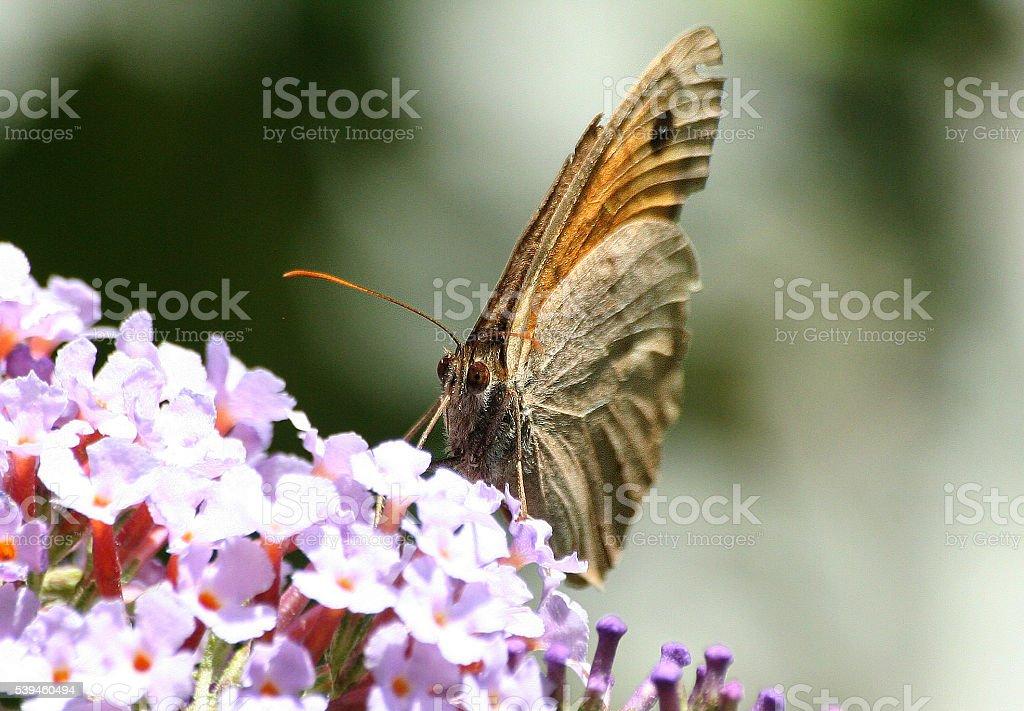 Butterflies in Europe: meadow brown on pink flower stock photo