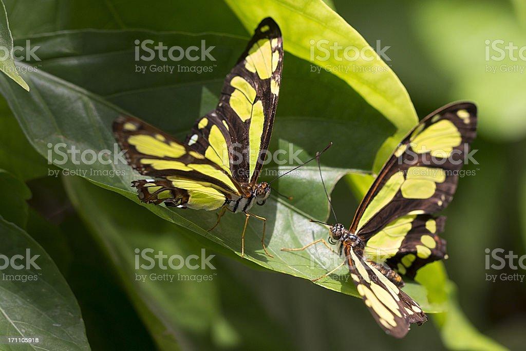 Butterflies: Love at first flight stock photo