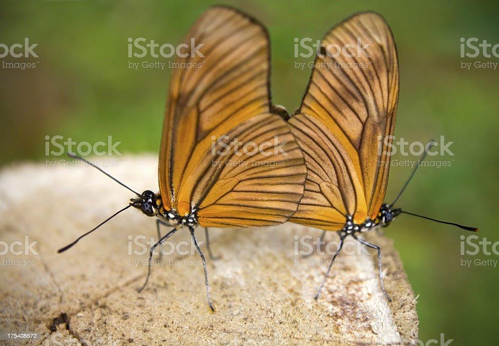 Butterflies mating stock photo