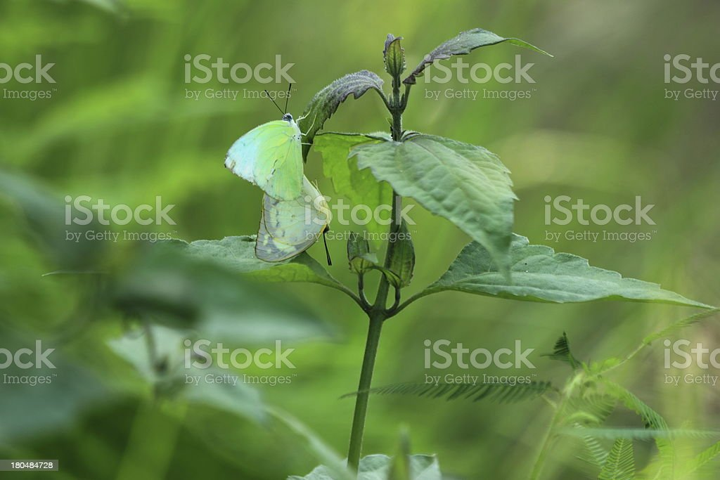 Butterflies mating. royalty-free stock photo