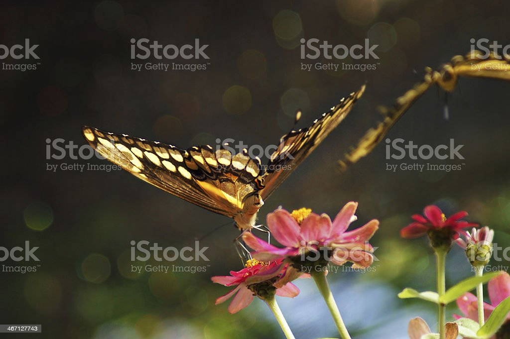 Butterflies on flowers and bokeh effect background royalty-free stock photo