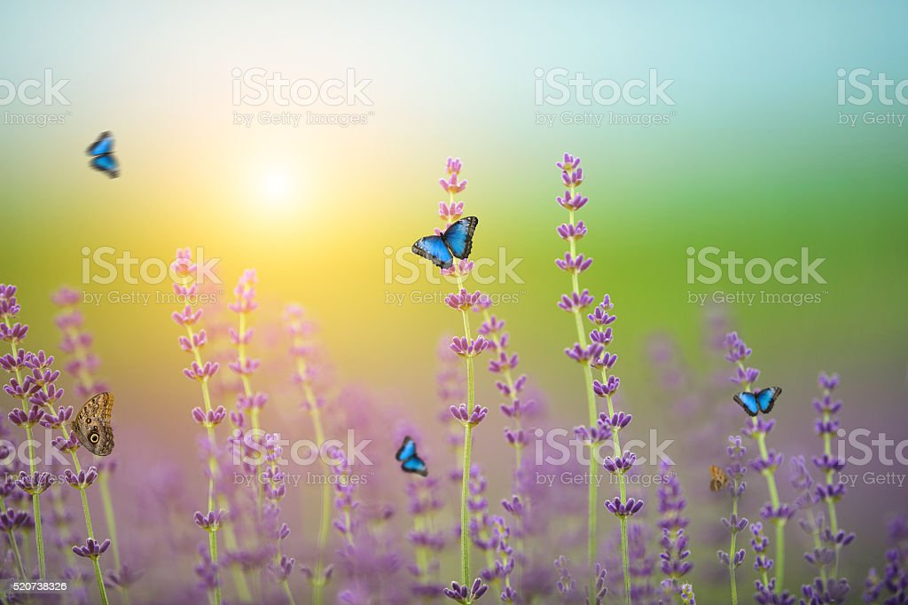 Butterflies on Lavender field stock photo
