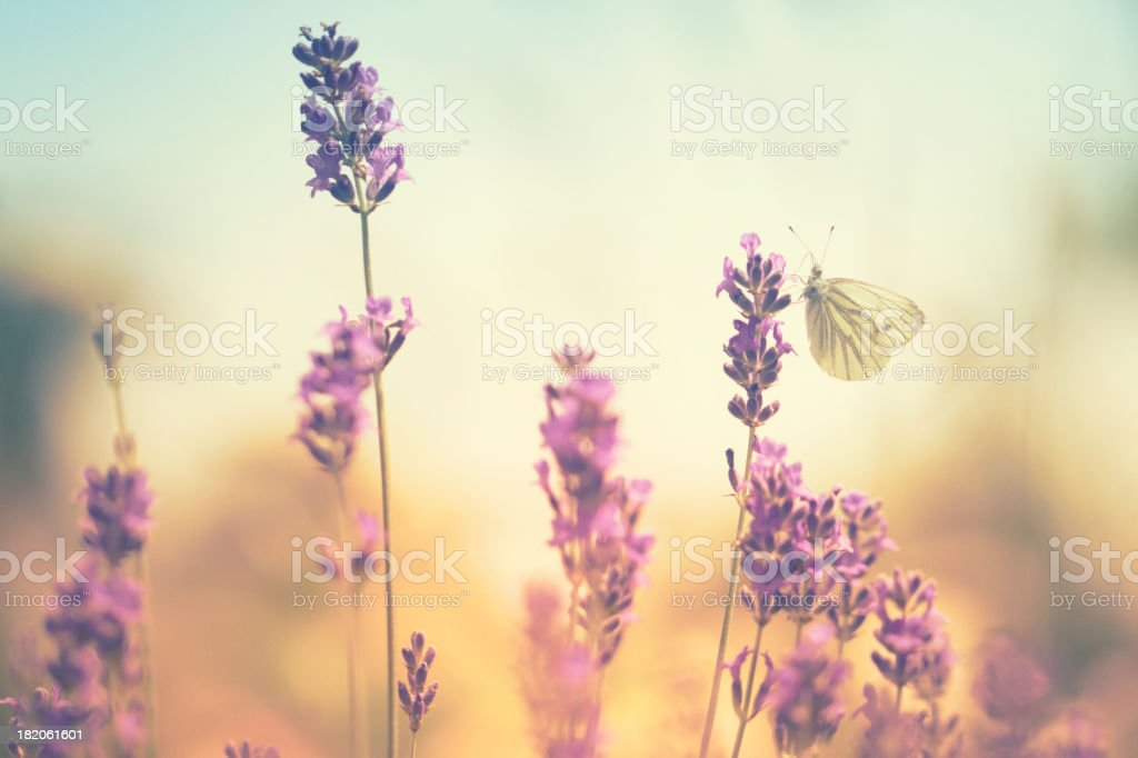 Butterflies on lavender stock photo