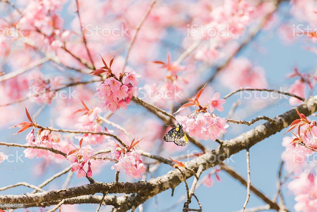 Butterflies on Pink cherry blossom flower stock photo