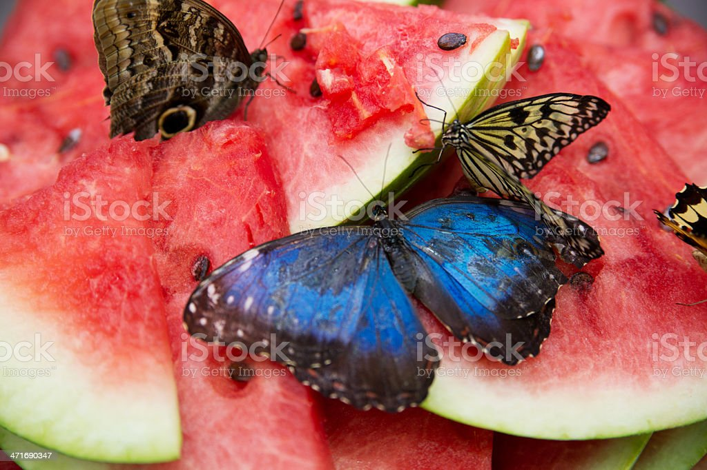 Butterflies on watermelon royalty-free stock photo