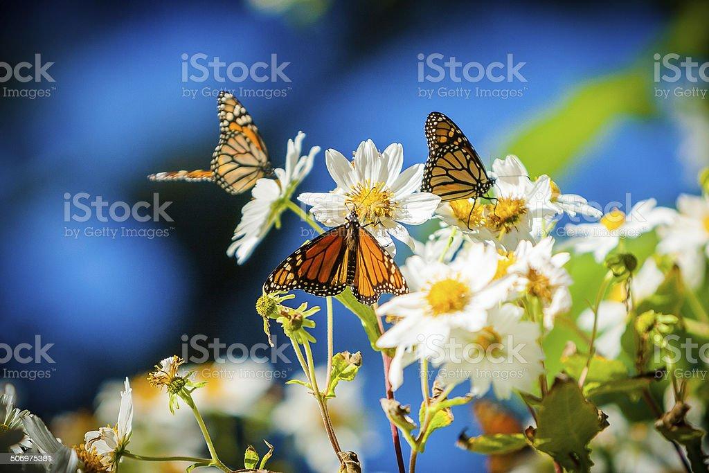 Butterflies On White Daisies stock photo