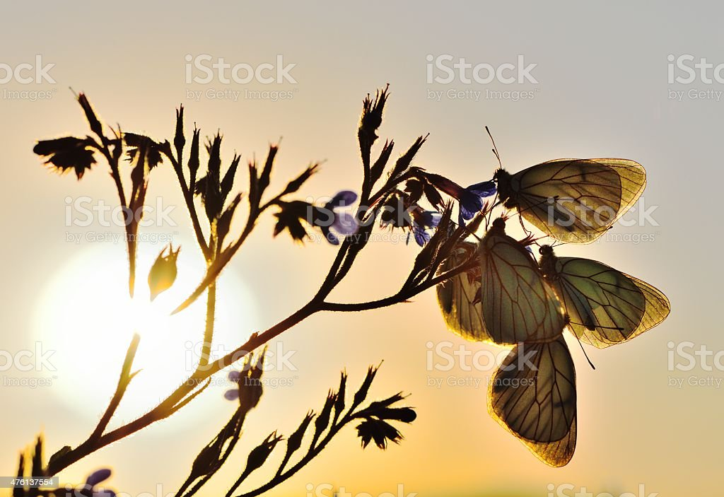 butterflies on wildflower stock photo