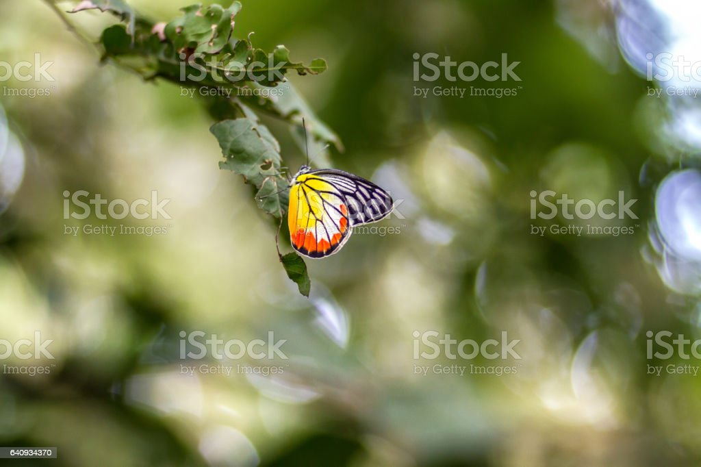 Butterflies perch on leaf green and bokeh background stock photo