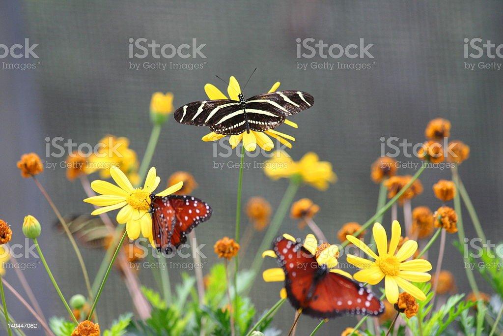 Mariposas foto de stock libre de derechos