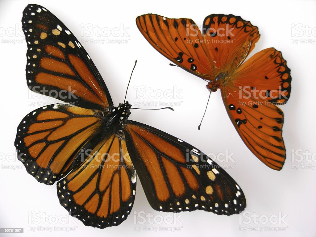 Butterflies royalty-free stock photo