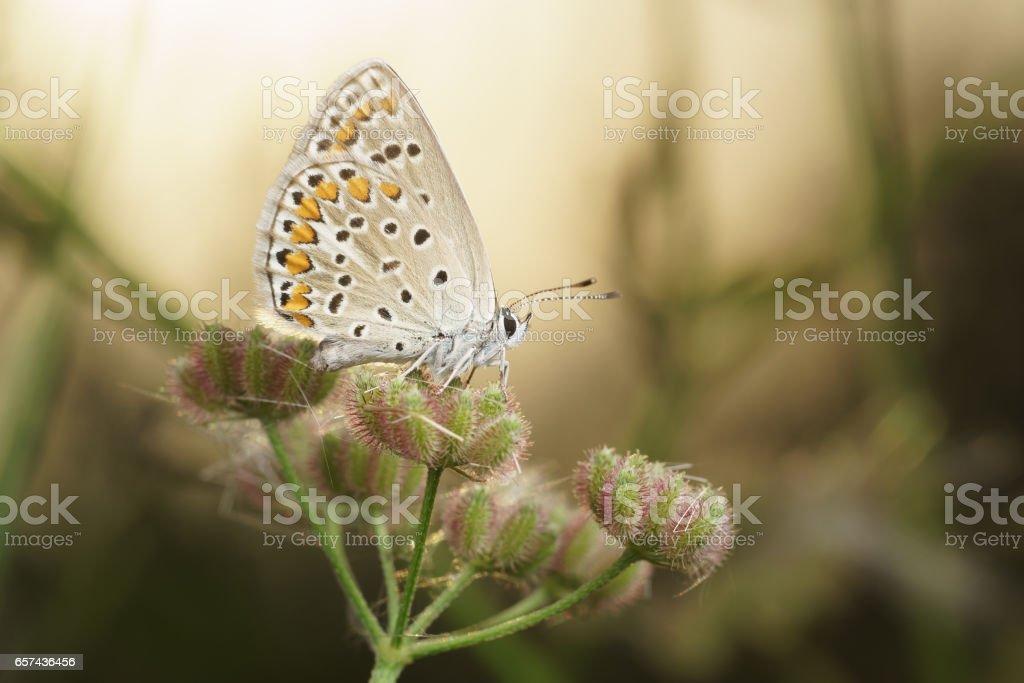Butterflies Polyommatus baby (lat. Pseudophilotes bavius) on the umbrella of seeds of wild carrot (lat. Daucus carota) stock photo