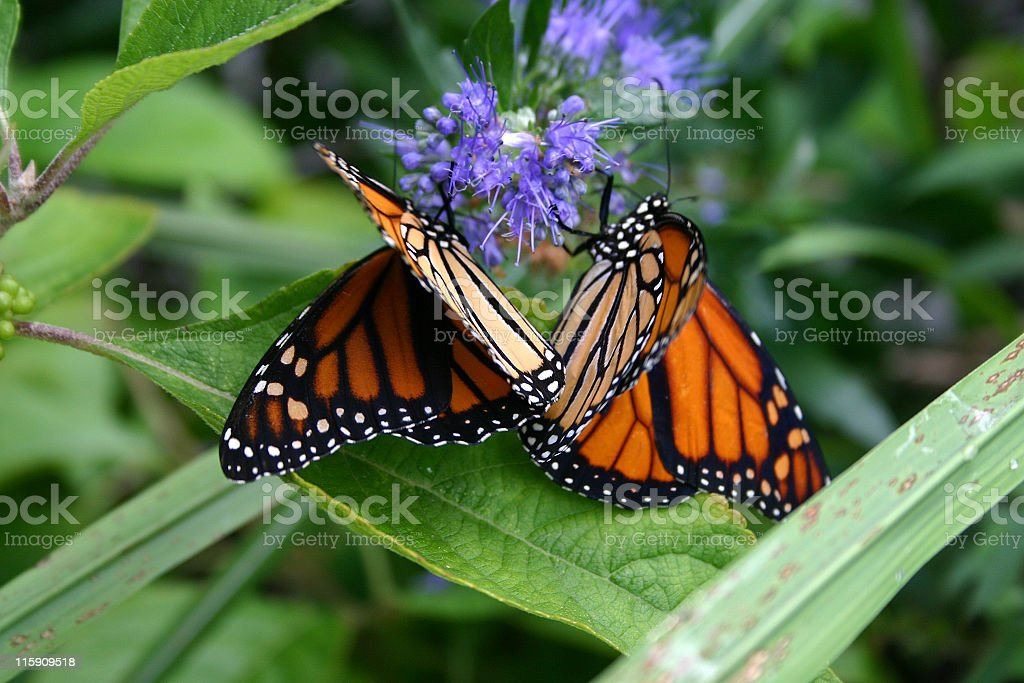 Butterflies Sharing a Flower royalty-free stock photo