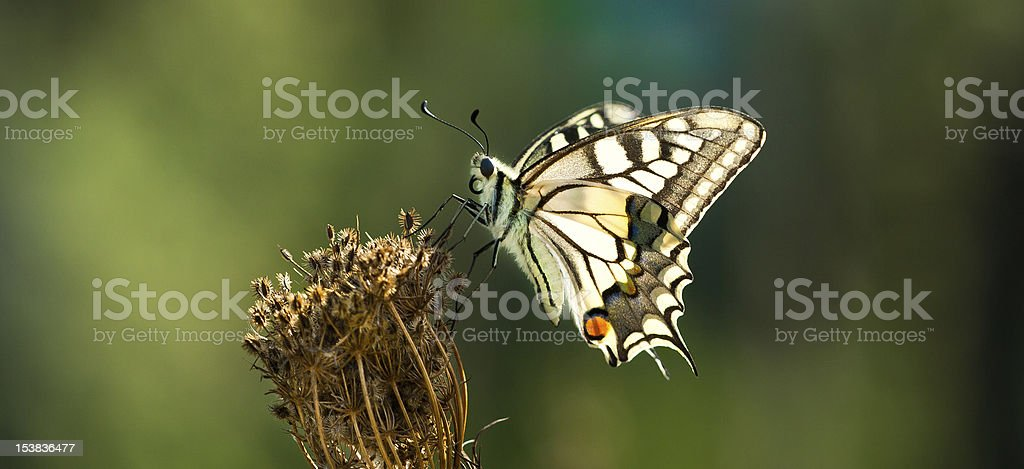 Butterflly stock photo