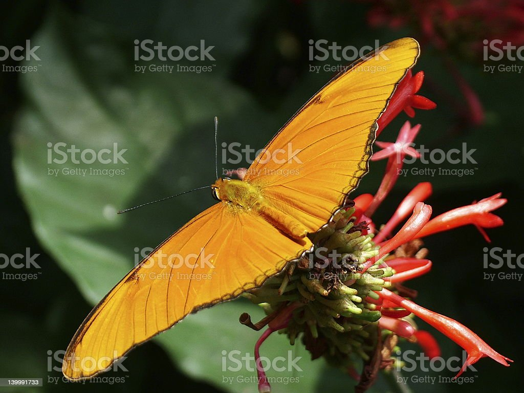 Butterfly 1 royalty-free stock photo