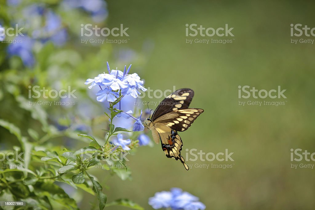 butterfly 5 royalty-free stock photo