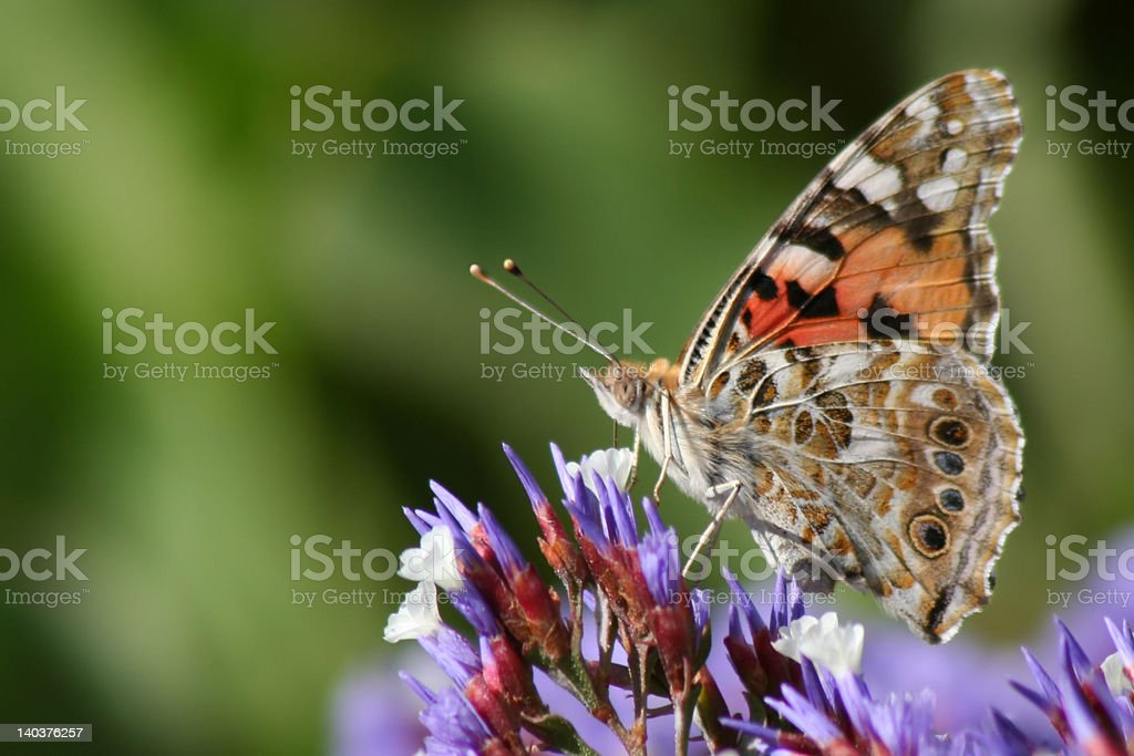'Butterfly absorbing the pollen on a violet plant' royalty-free stock photo