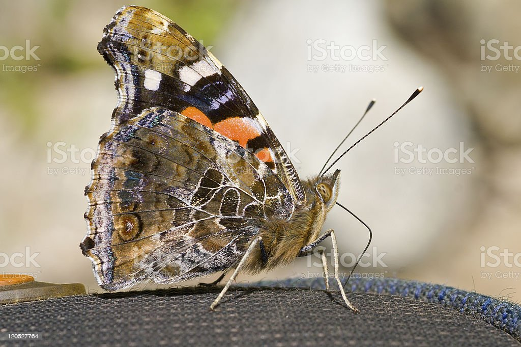 Butterfly admiral (Vanessa indica) stock photo