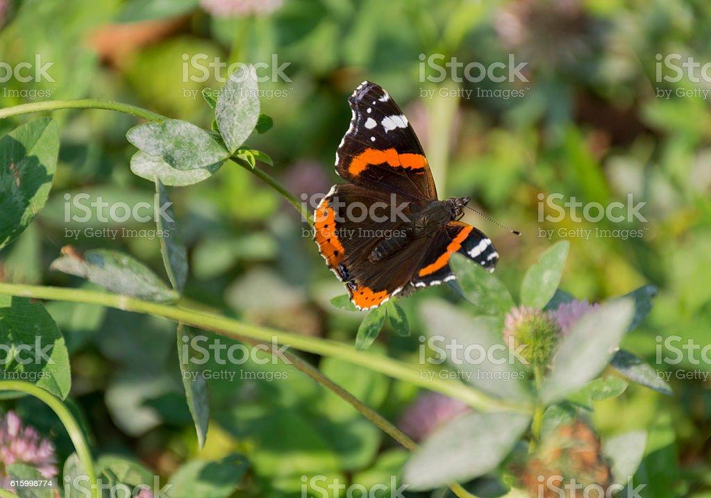butterfly Admiral, Vanessa atalanta, Nymphalidae, clover Shamrock, Trifólium stock photo