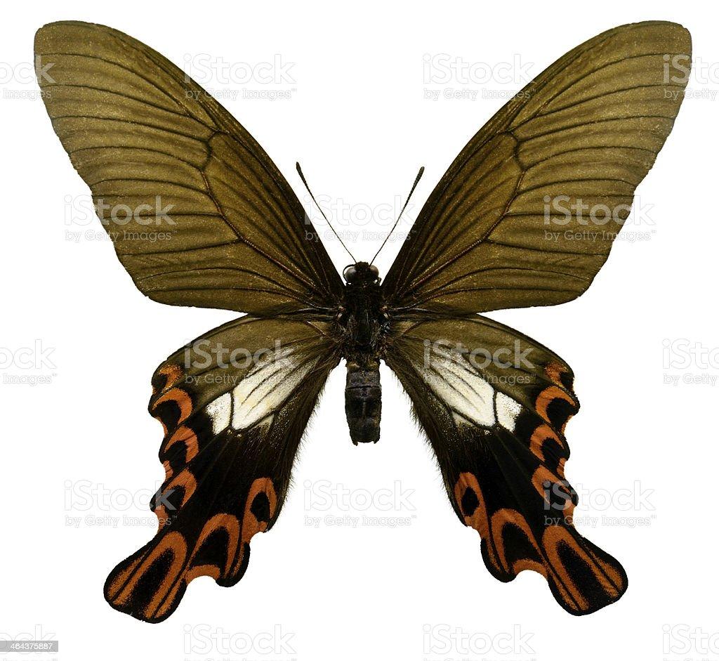 Butterfly Agehana maraho (Clipping path) royalty-free stock photo