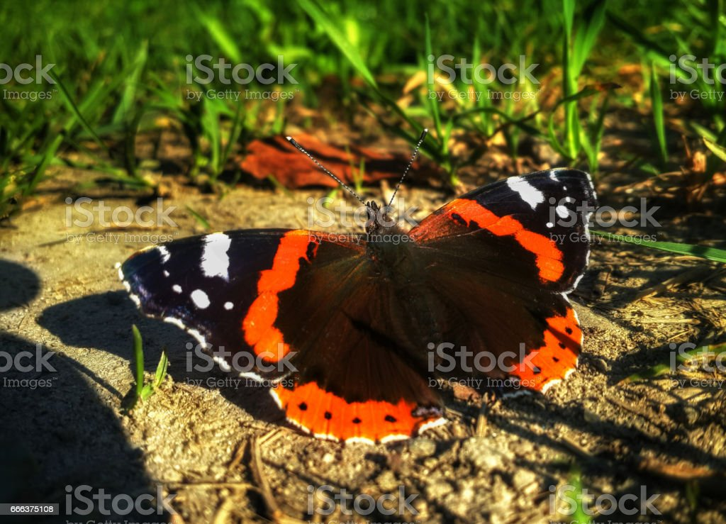 Butterfly Aglais urticae is sitting on the ground near the grass stock photo