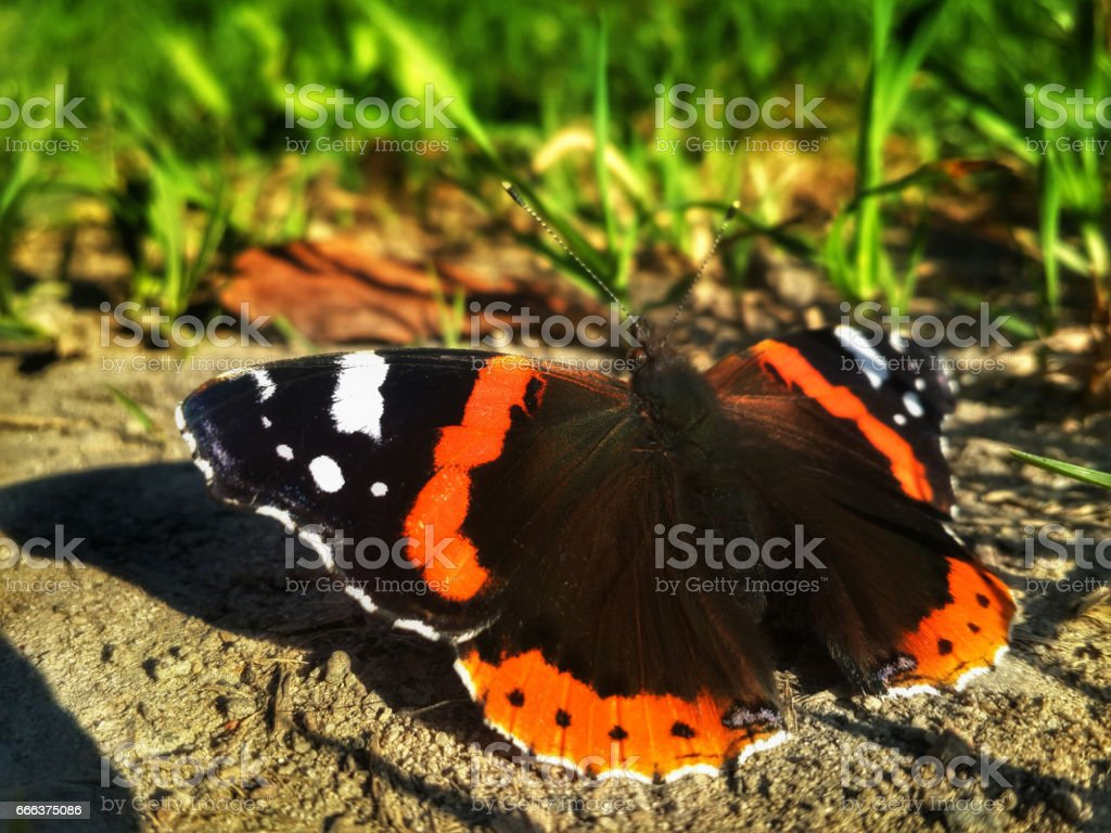 Butterfly Aglais urticae is sitting on the ground near the green grass stock photo