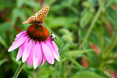 Butterfly and Bee on Echinacea