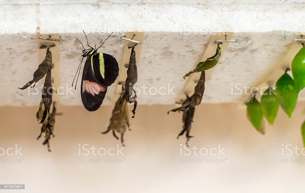 Butterfly and Cocoons stock photo