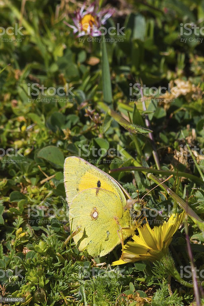 Butterfly and Flower Daisy - Mariposa Colias en Flor royalty-free stock photo