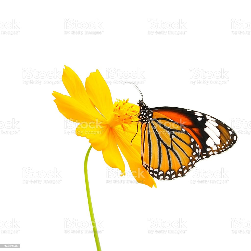 Butterfly (Common Tiger) and flower isolated on white background stock photo