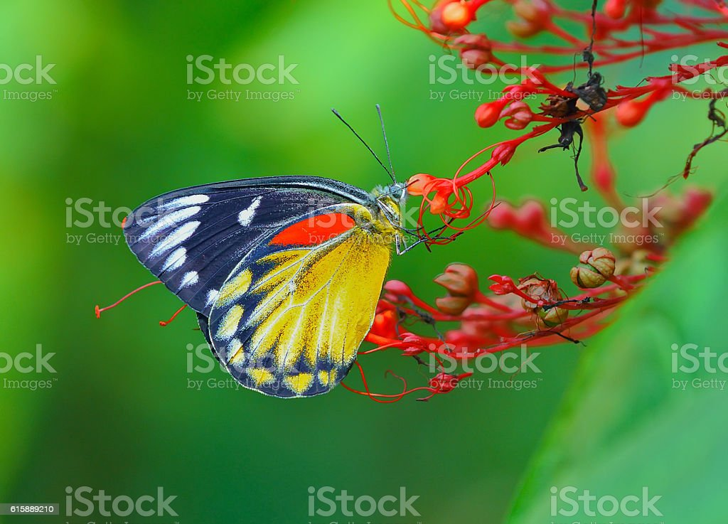 Butterfly (Red-spot Jezebel) and flower , thailand stock photo