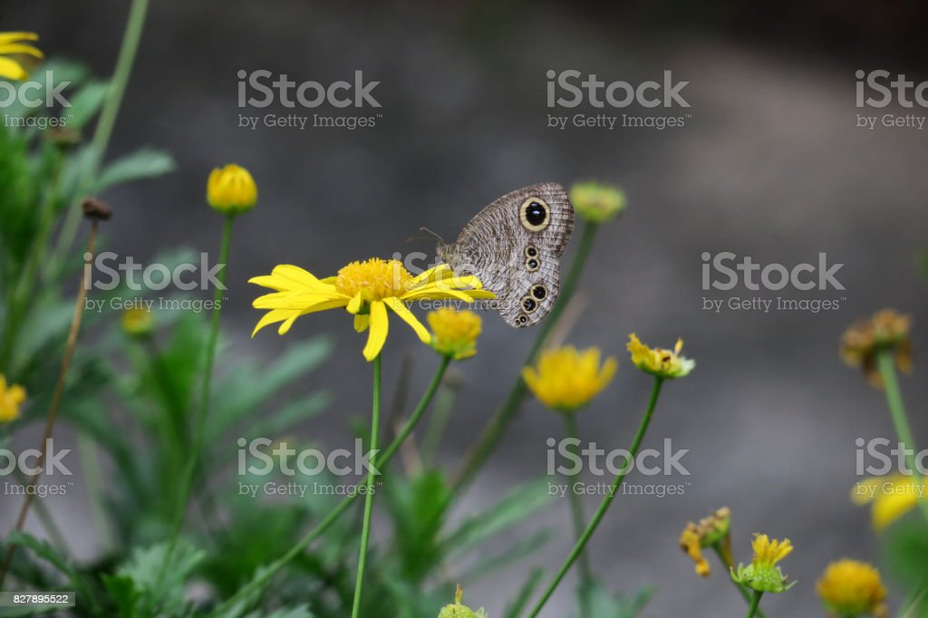 Butterfly and flowers, yellow daisies stock photo