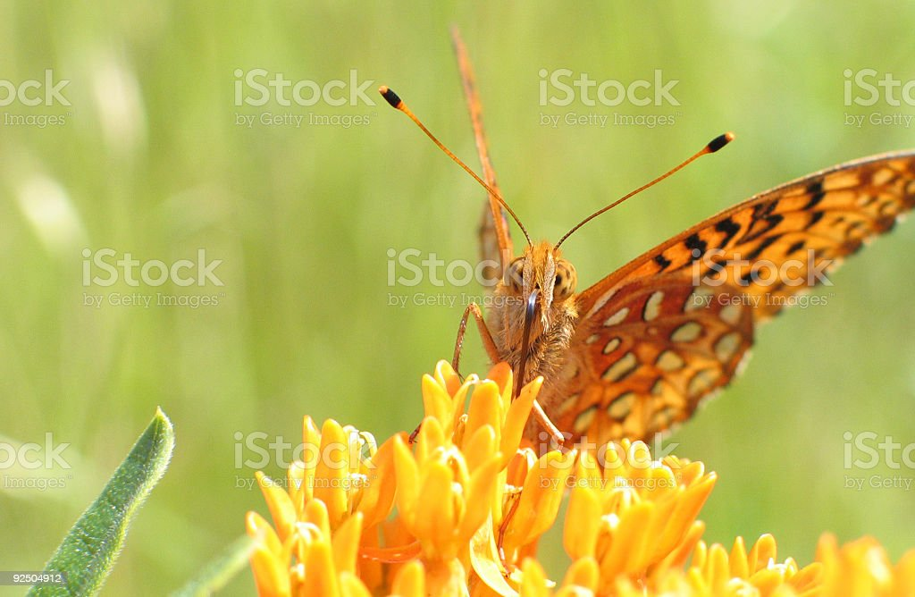 butterfly and its weed stock photo