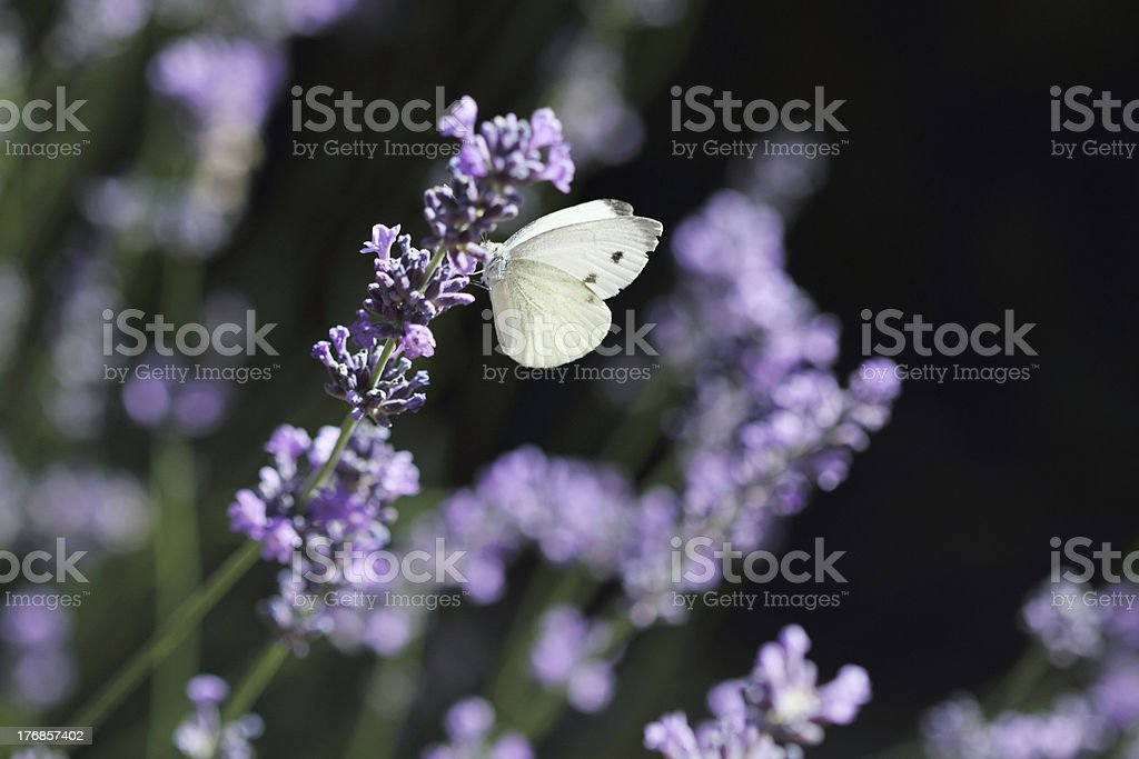 Butterfly and lavender royalty-free stock photo