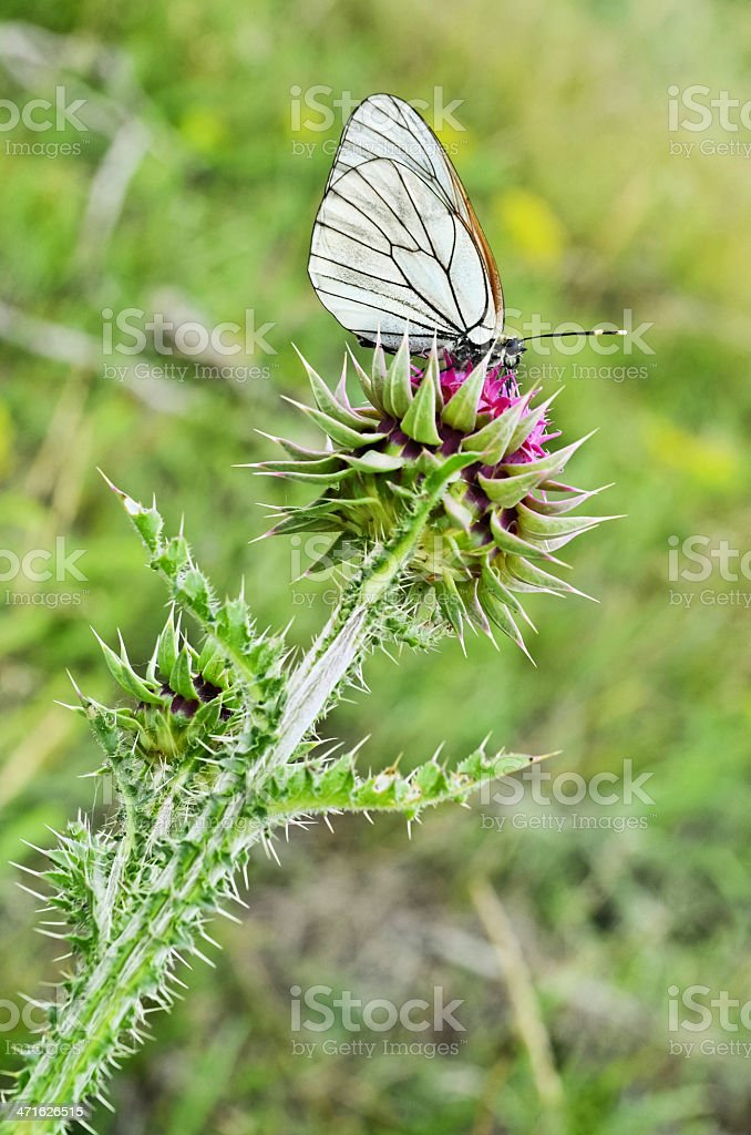 Butterfly and Musk Thistle royalty-free stock photo