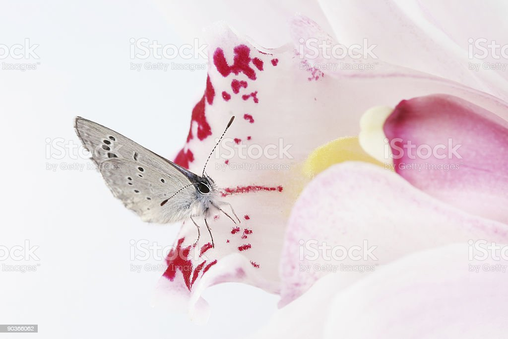 Butterfly and orchid 05 royalty-free stock photo