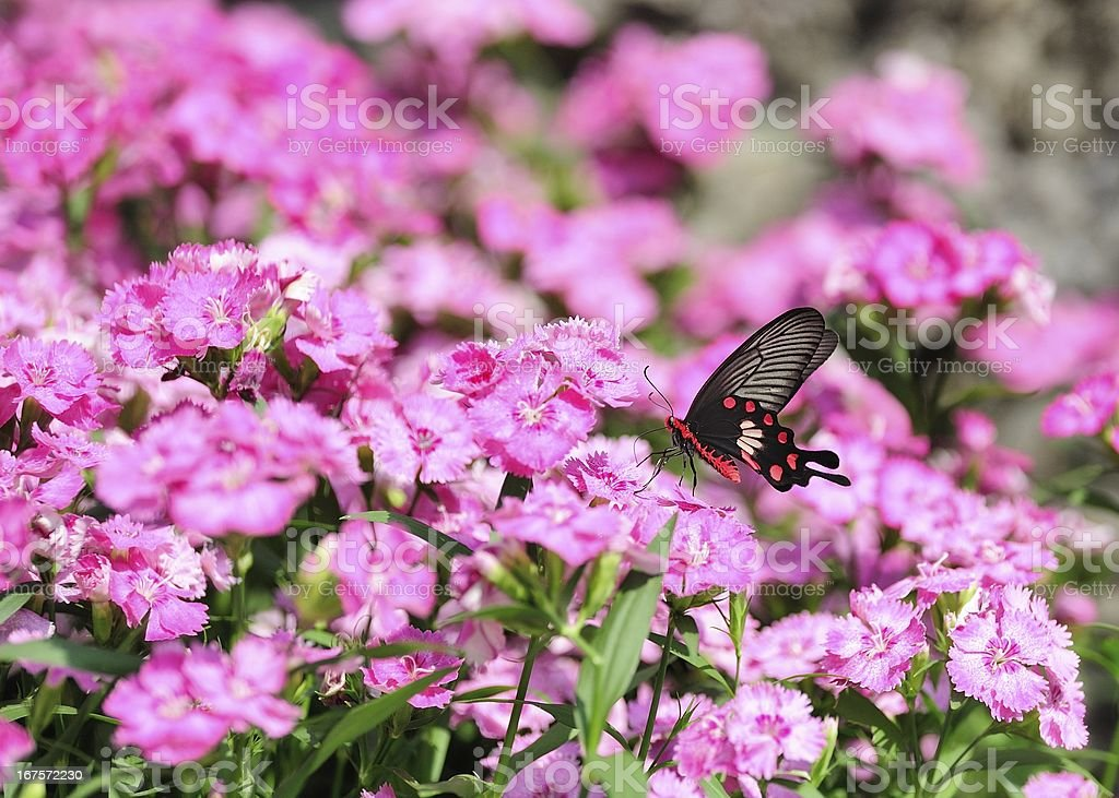 butterfly and red flowers royalty-free stock photo