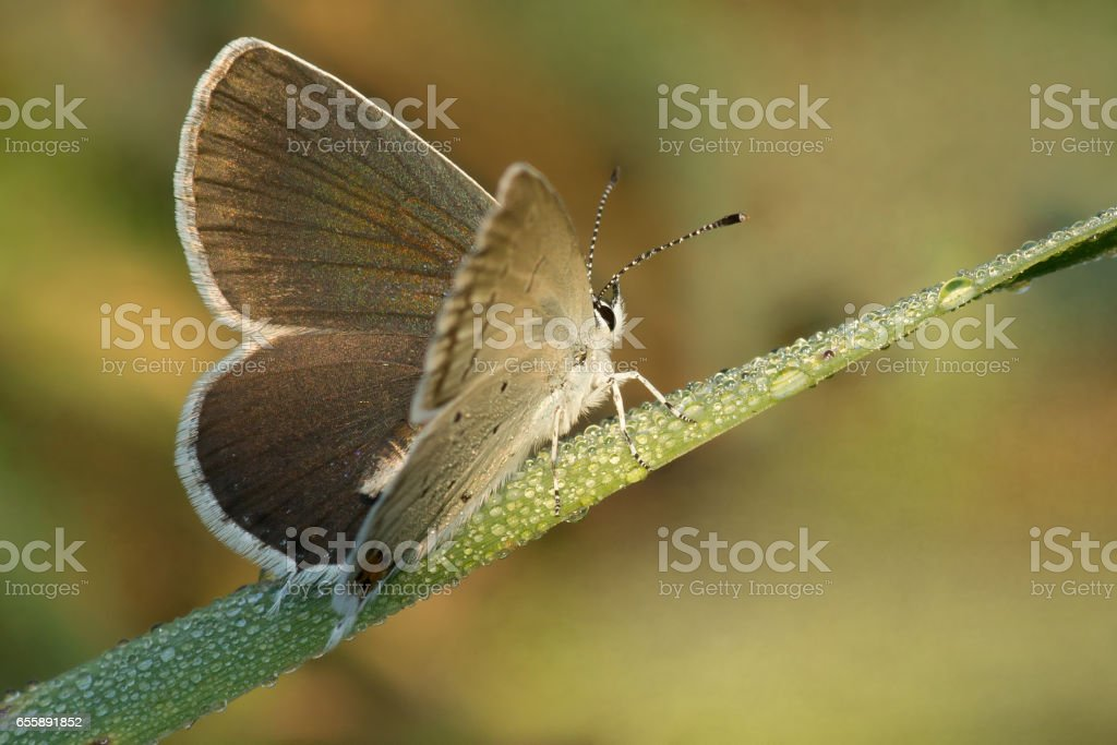Butterfly Aricia atraxerxes (Argus Scottish Blue brown) on a blade of grass in the morning dew stock photo