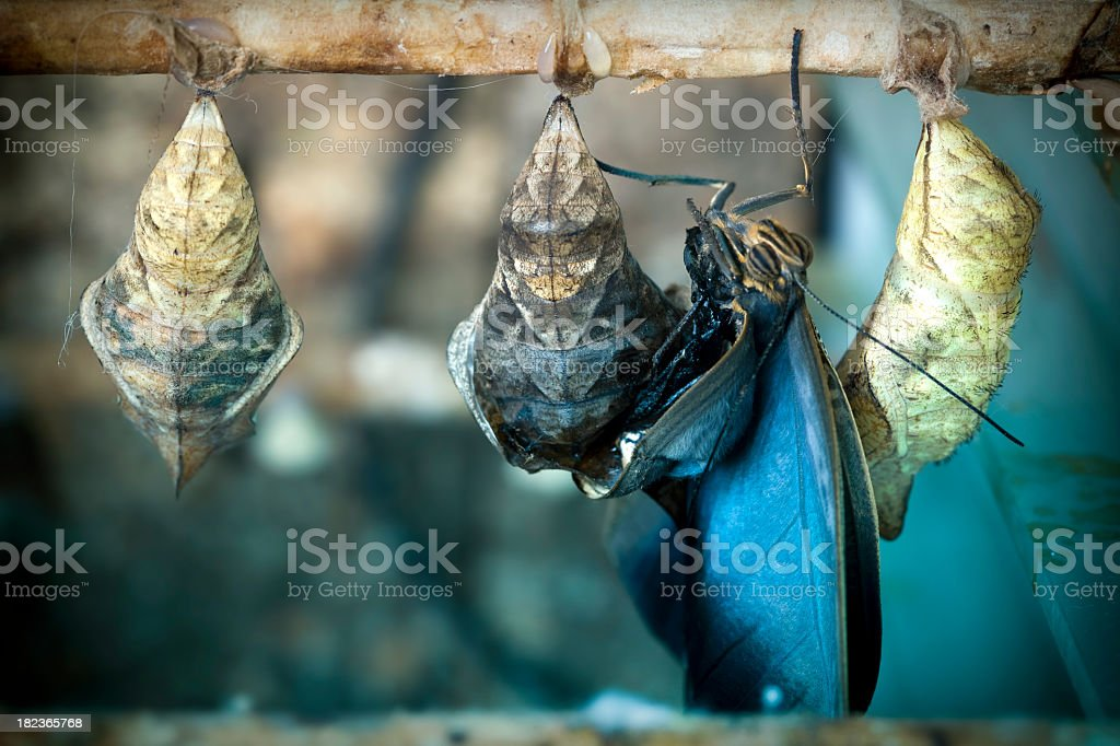 Butterfly birth with chrysalis stock photo