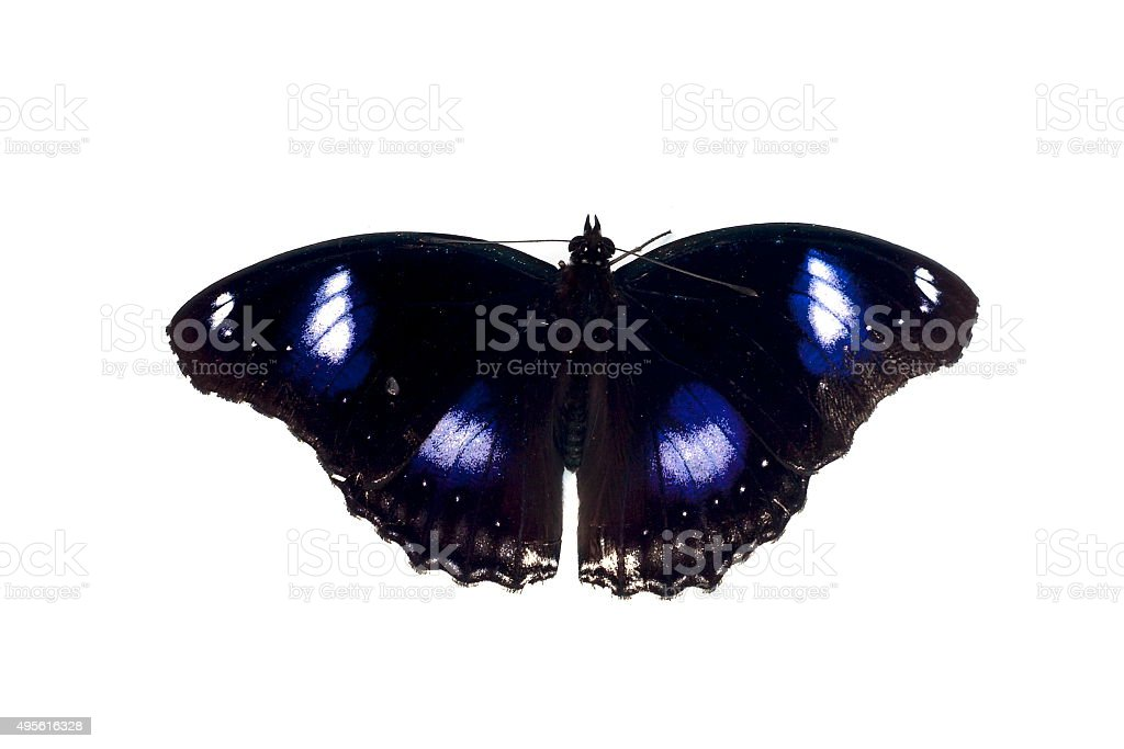 Butterfly black and blue spot stock photo